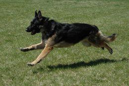 German-Shepherd-Running-blog