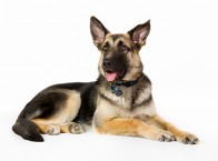 GSD with collar and tags
