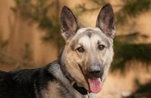 adopt german shepherd -lola