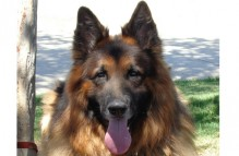 adopt german shepherd - stewie