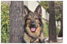 adopt german shepherd - luke