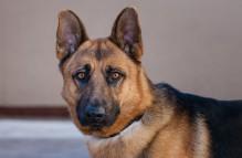 adopt german shepherd - Tommy