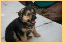 adopt german shepherd - panda