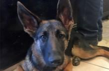 adopt german shepherd nadine