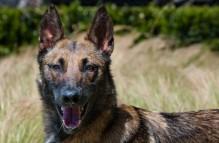 adopt german shepherd - lindy