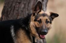 adopt german shepherd- marlin