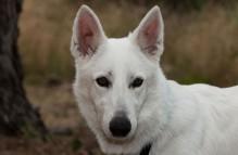 adopt german shepherd - paloma