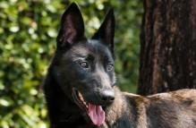 adopt german shepherd samba