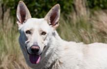 adopt german shepherd- starlight