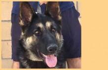 adopt german shepherd dog - liliana
