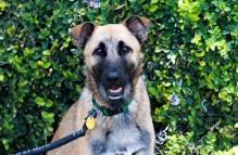 adopt german shepherd - ollie