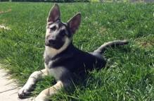 adopt german shepherd - sophie jo