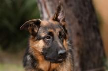 adopt german shepherd - Heath