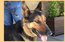 adopt german shepherd - Iris