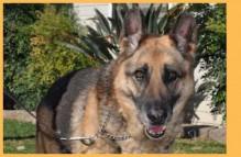 adopt german shepherd - Jenna