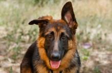 adopt german shepherd - Reese
