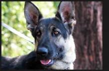adopt german shepherd - chloe rose