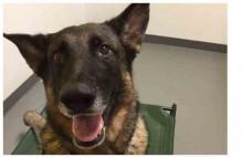adopt german shepherd - duke