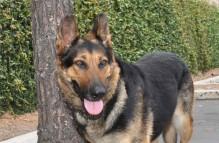 adopt german shepherd- iris