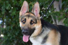 adopt german shepherd - nixon