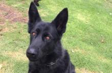 adopt german shepherd - panther