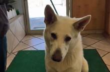 adopt german shepherd - sampson