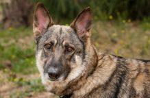 adopt german shepherd - jewel