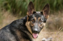 adopt german shepherd - Sherman
