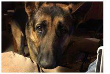 adopt german shepherd - ammo