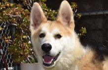 adopt german shepherd - sunshine