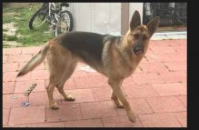 adopt german shepherd - sasha