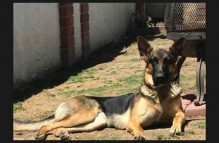 adopt german shepherd - scarlett