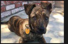 adopt german shepherd - tiger lily