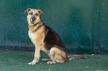 ellla - adopt german shepherd