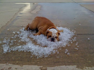 dog-laying-in-ice