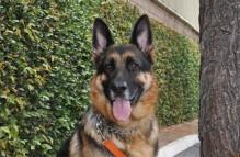 adopt german shepherd- easton