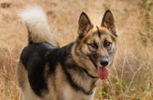 adopt german shepherd - morgan