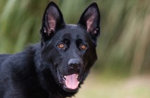 adopt german shepherd - cory