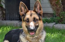 adopt german shepherd -Colt