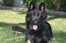 adopt german shepherd - kona