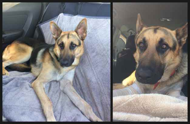 Army German Shepherd Rescue Of Orange County