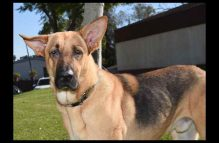 adopt german shepherd - Dewey