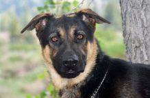 adopt german shepherd - knox