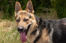 adopt german shepherd - captain