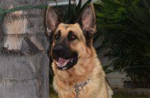 adopt german shepherd- capri