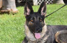 adopt german shepherd - joy