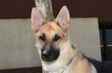 adopt german shepherd - violet