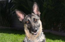 adopt german shepherd - phoebe