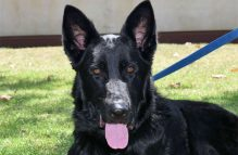 adopt german shepherd - quinn