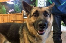adopt german shepherd-rex